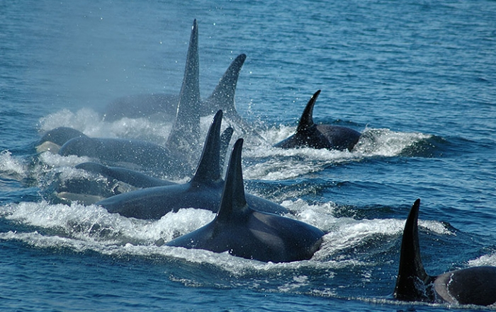 springtide-charters-orcas-whale-watching-victoria-british-columbia