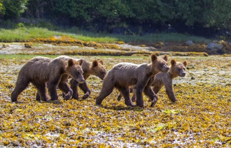 grizzly-bears-tide -rip-grizzly-adventures-vancouver-island-730x487